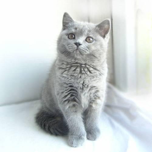 фото цены коты британцы