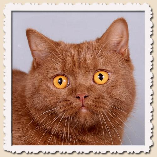 британская кошка Муся | 500x500