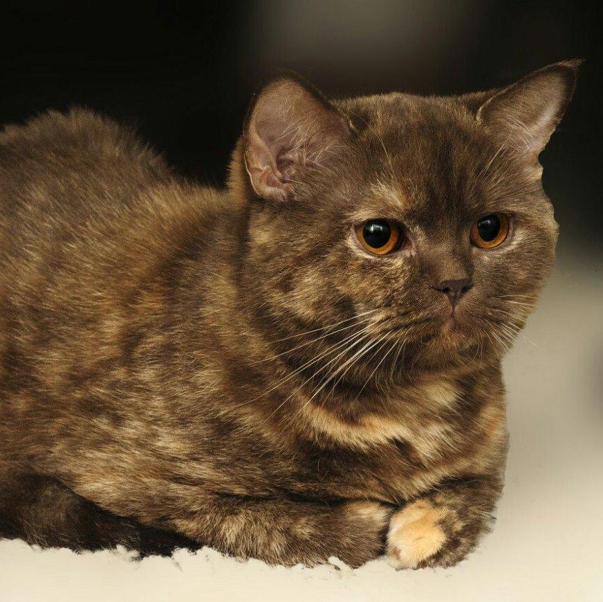 ABFC SuperFold  Club  Продаются котята Шотландские