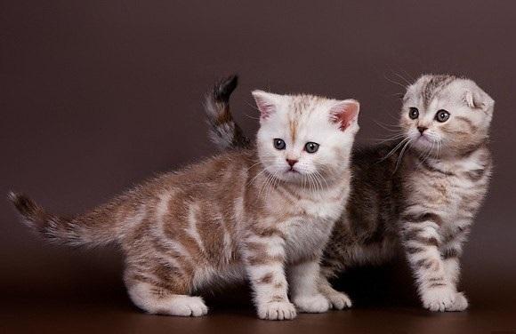 Вислоухий шотландский кот купить минск