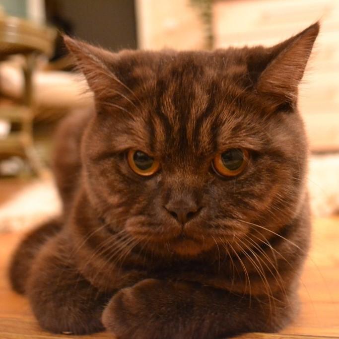 отдается бесплатно взрослая британская кошка шоколадного дымчатого окраса из питомника в минске