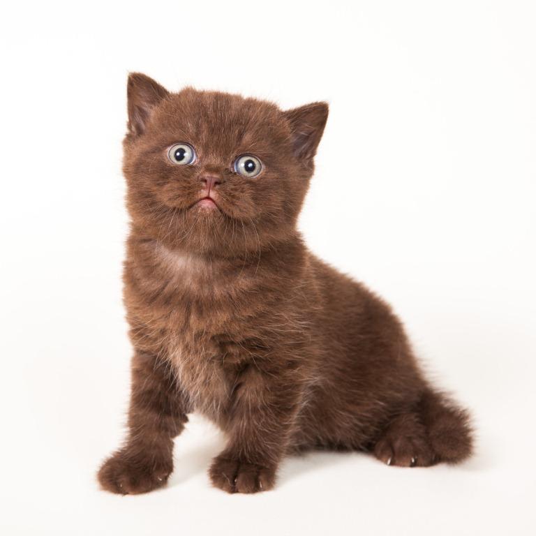 Котенок британец фото шоколадный
