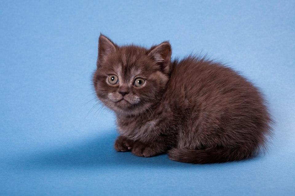 котенок британец фото шоколадный фотографиям для