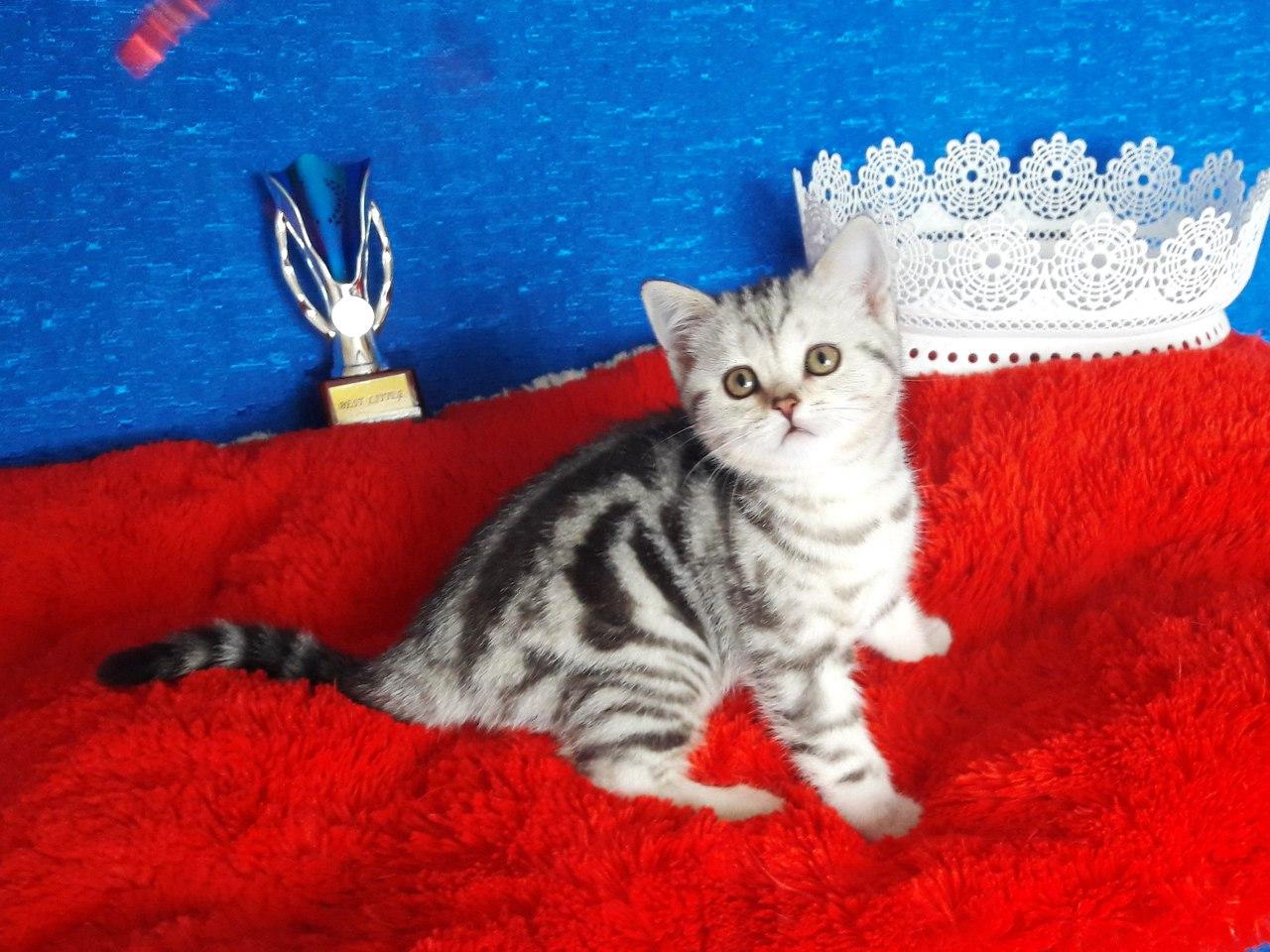 для шотландские котята прямоухие окрас фото сделать